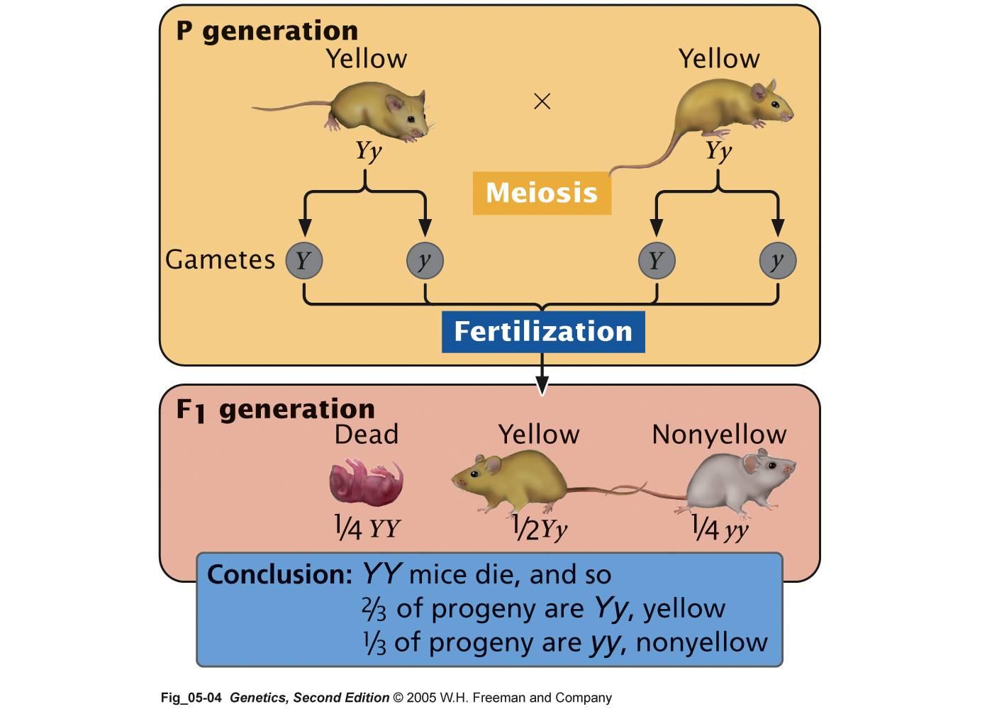 genetics for chodes